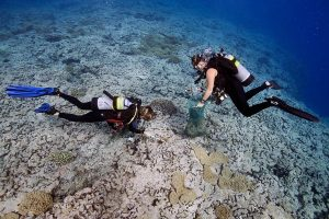 Divers Removing Crown of Thorns from the reef.