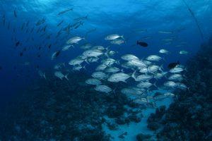 Schooling Big Eye & Barracuda , at Osprey Reef