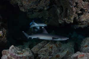 Juvenile White Tip Reef Sharks in a cave.