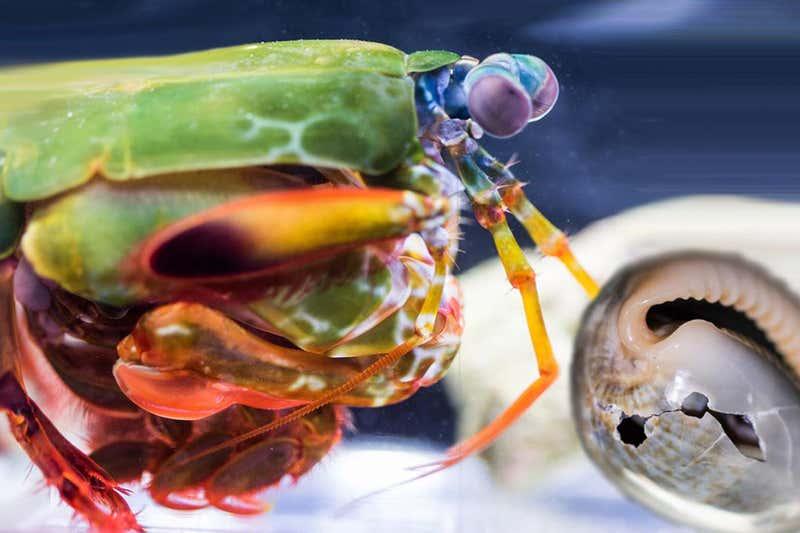Mantis Shrimp Punch