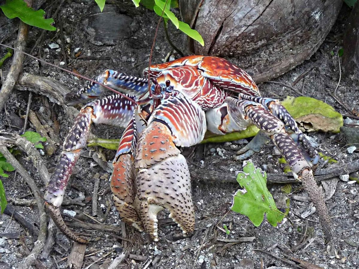 Robber crabs suspected of stealing $6,000 thermal-imagine camera