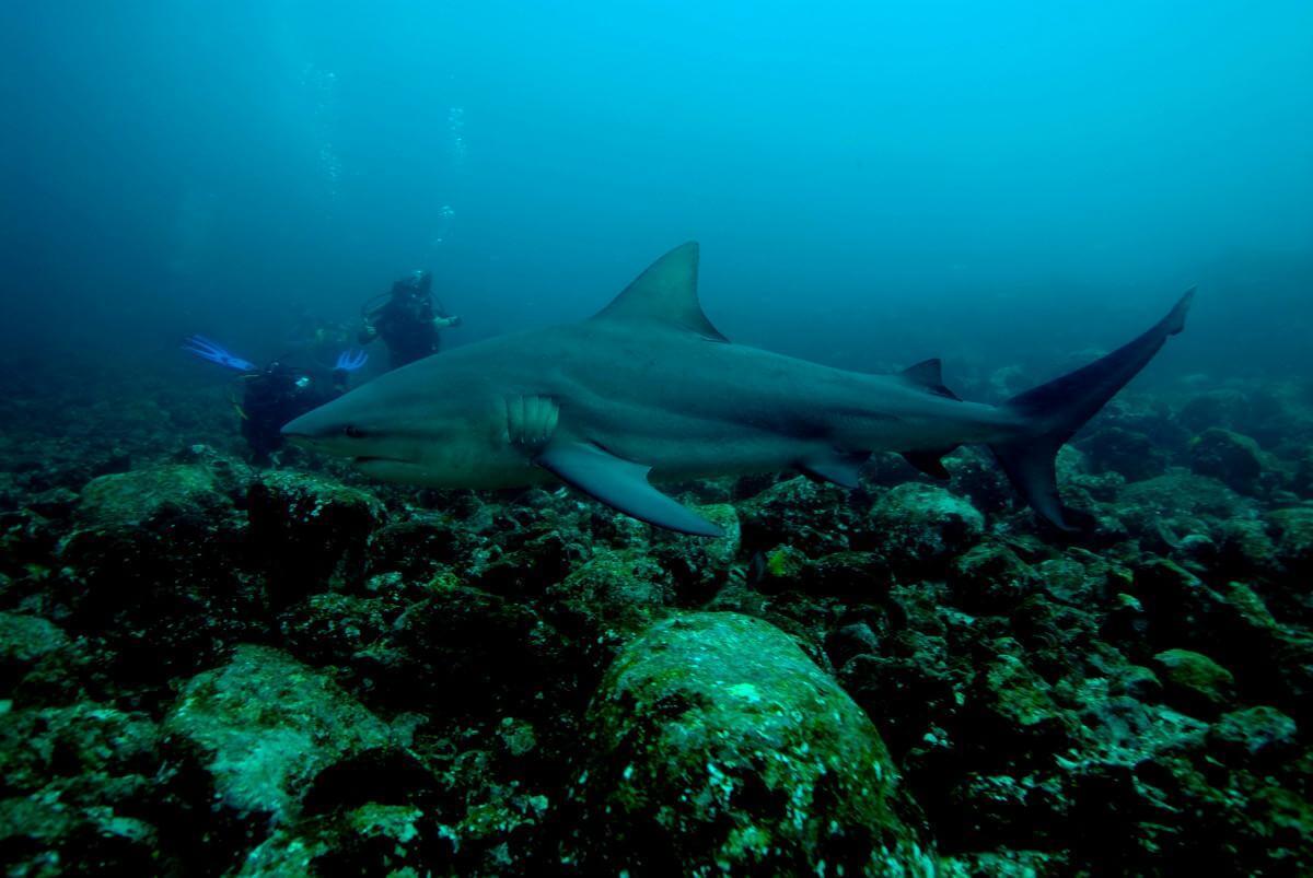 Bull Sharks at Big Scare, Playa Del Coco, Costa Rica