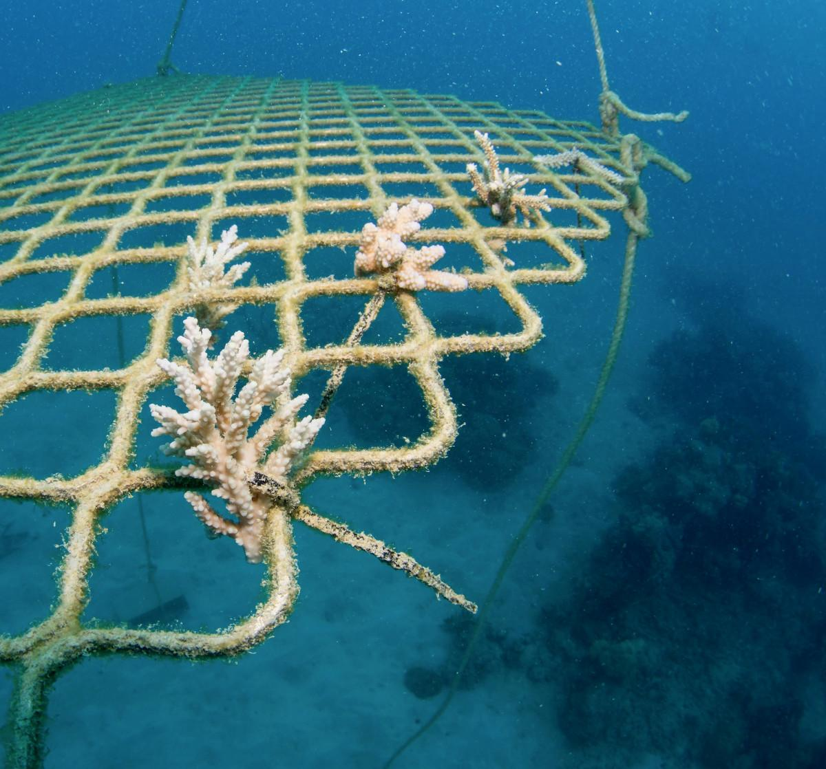 Dive Operators Turn to Reef Restoration on the Great Barrier Reef