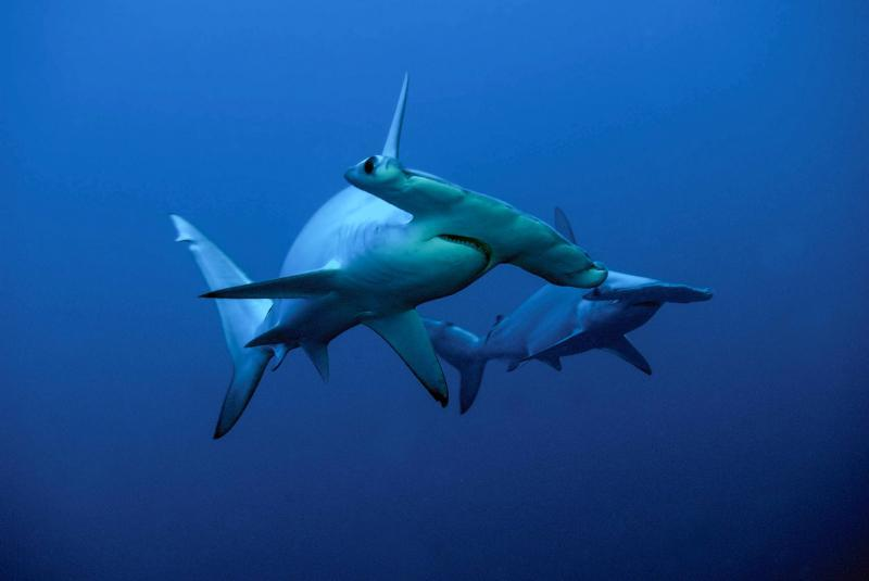 Diving to dream about hammerheads
