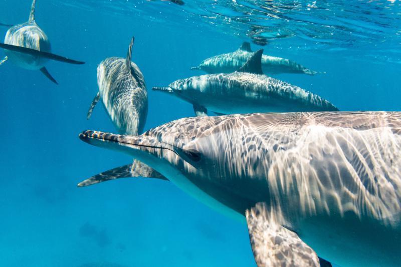 Dolphins sataya reef red sea
