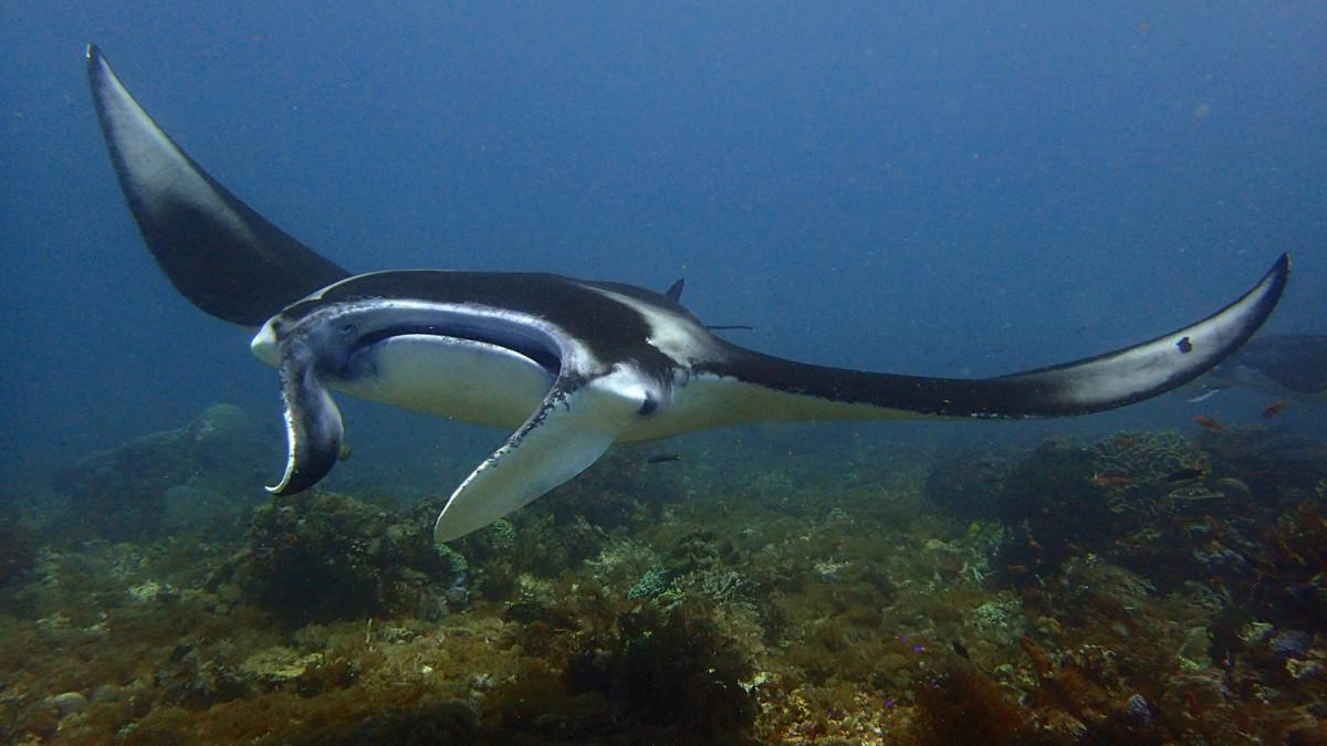 One of the Best Dive Destinations in the world Komodo National Park Manta Point