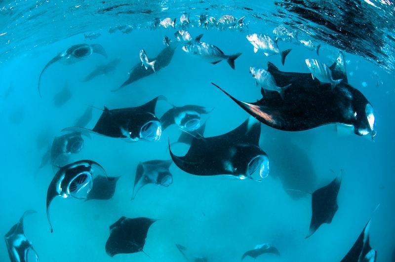 Manta rays at hanifaru maldives