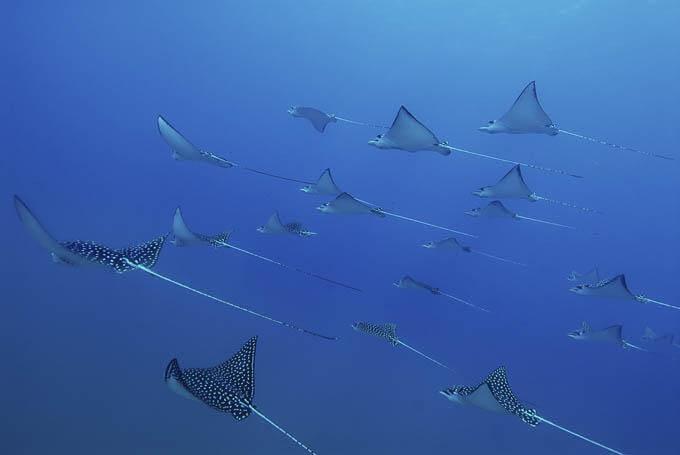 Oceanic Manta Rays at Catalina Islands Playa Del Coco Costa Rica