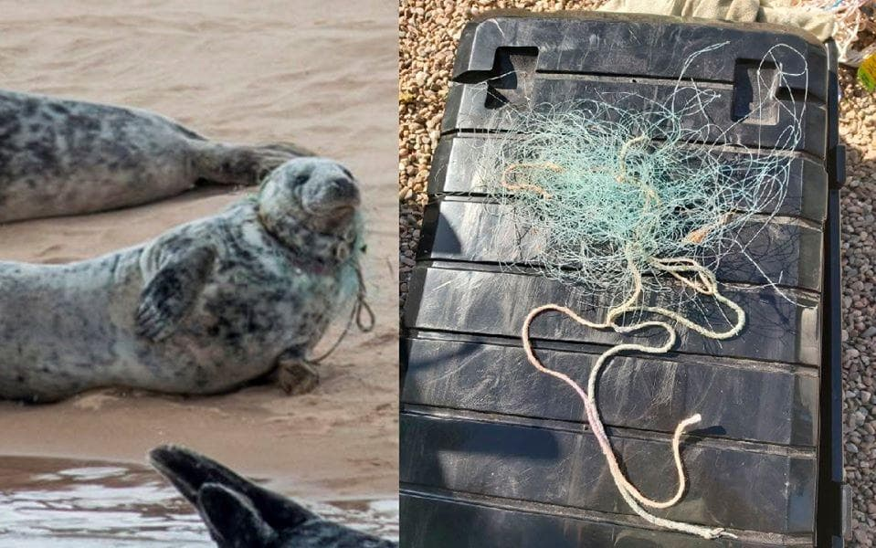 British Divers Marine Life Rescue A seal entangled in monofilament