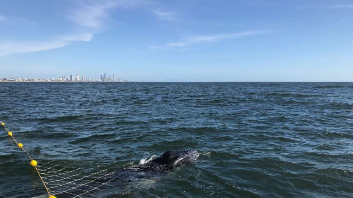 Whale Rescue Could Result in $27000 Fine