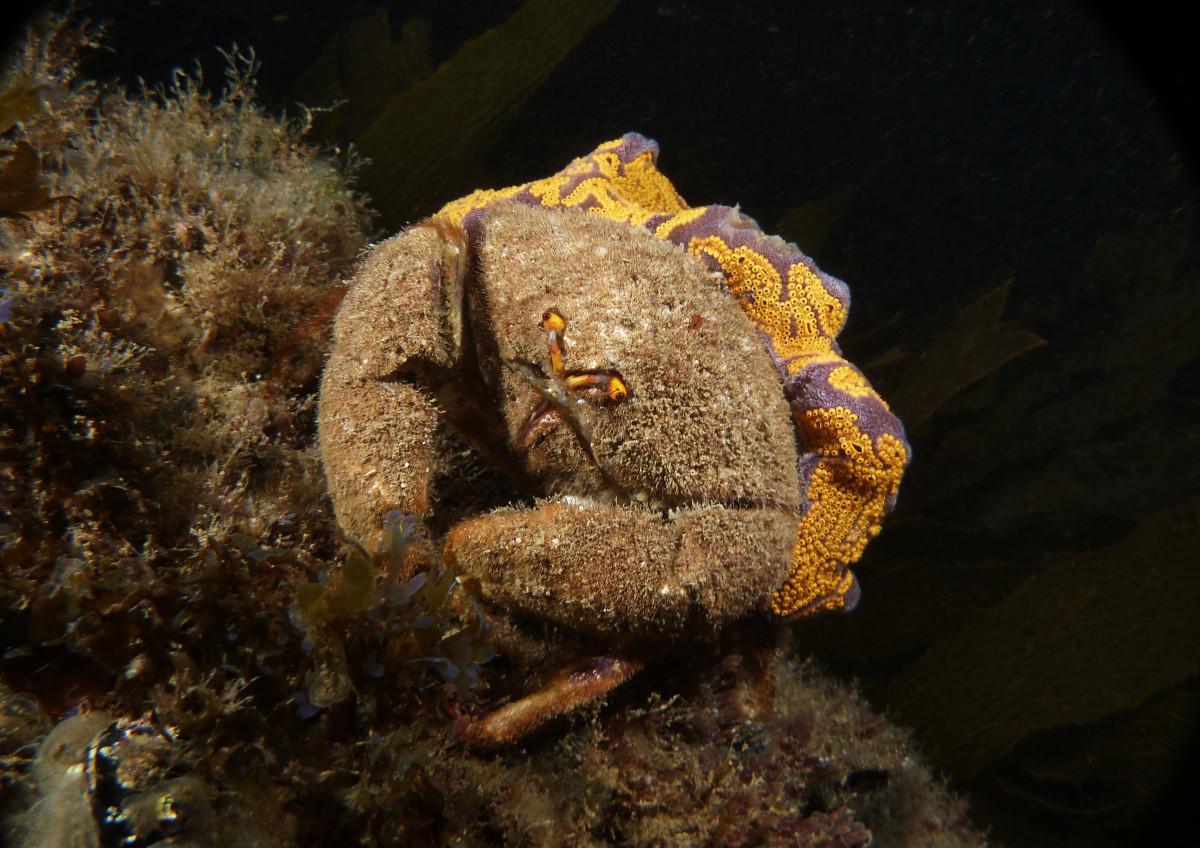 Bristled sponge crab by Dan Monceaux