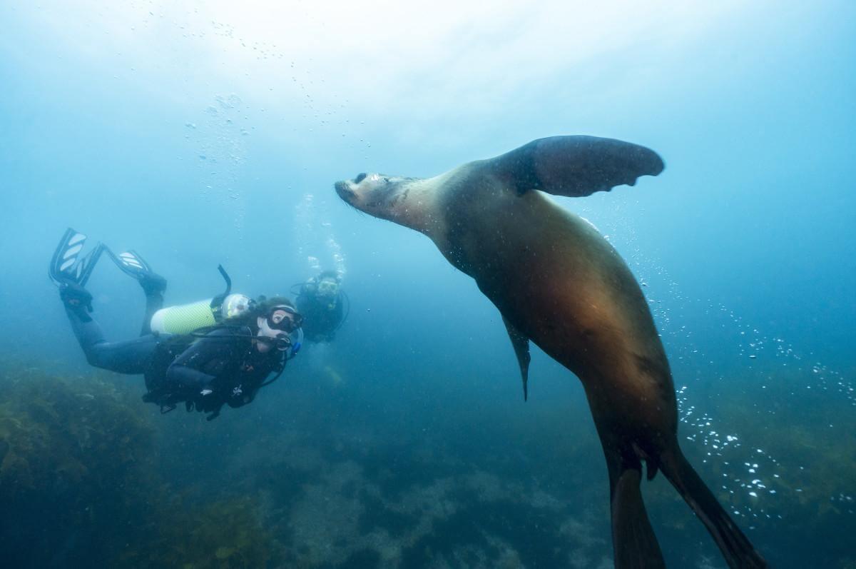 Scuba diver and a sea lion at Montague Island