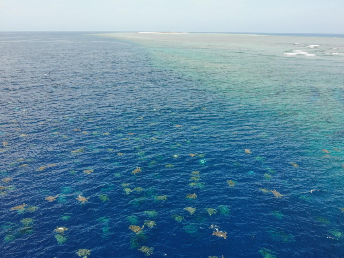 Raine Island. Turtle Aggregation.
