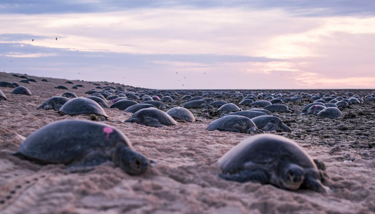 Turtles nesting on Raine Island