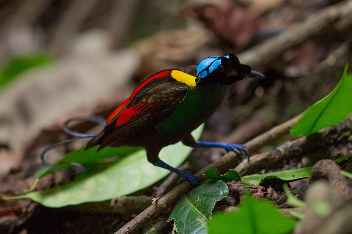 Wilson Bird of Paradise