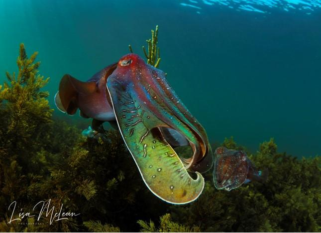 Protecting the Giant Cuttlefish