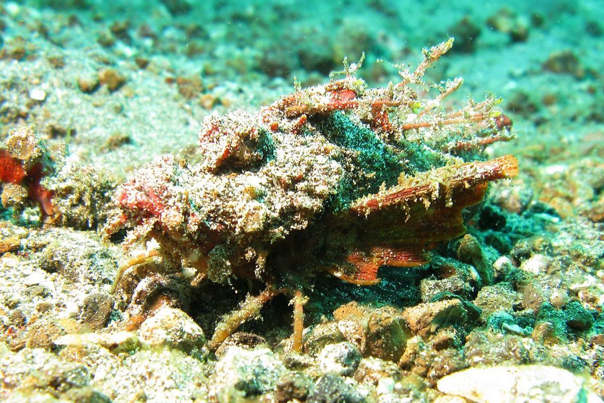 Spiny Devilfish Demon stinger