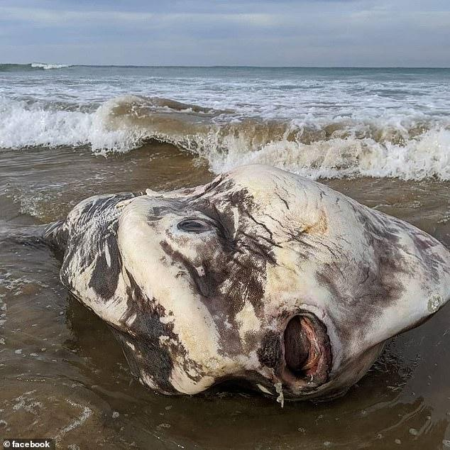 Massive 2 Meter Sunfish Washes Ashore
