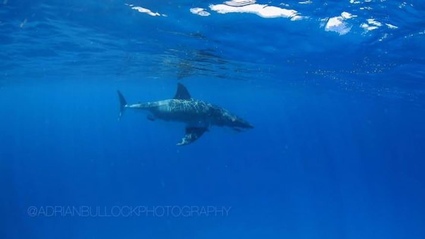 Great White Shark Close Encounter