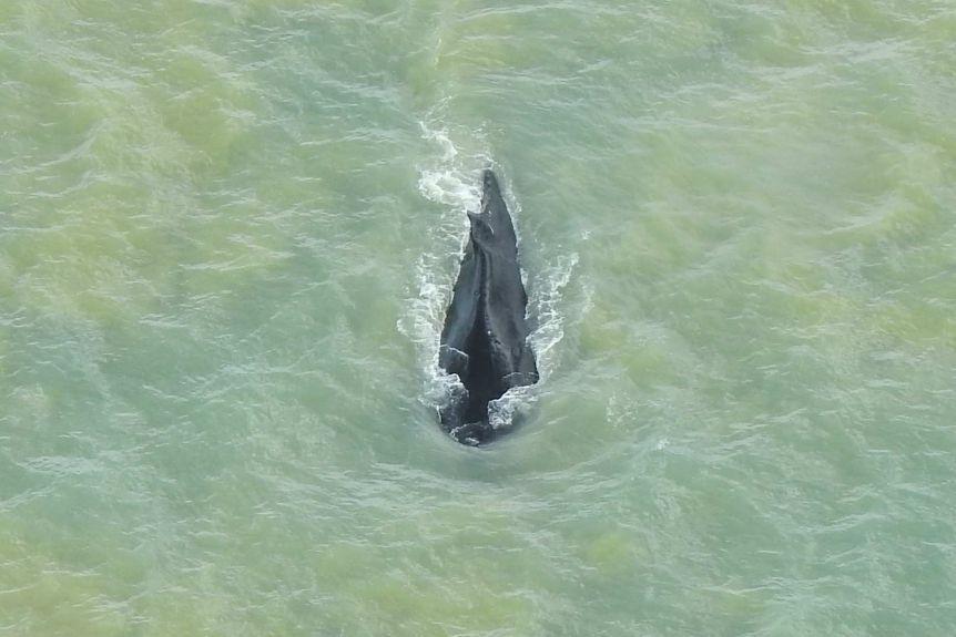Lost Humpback Whale Escapes Crocodile Infested River