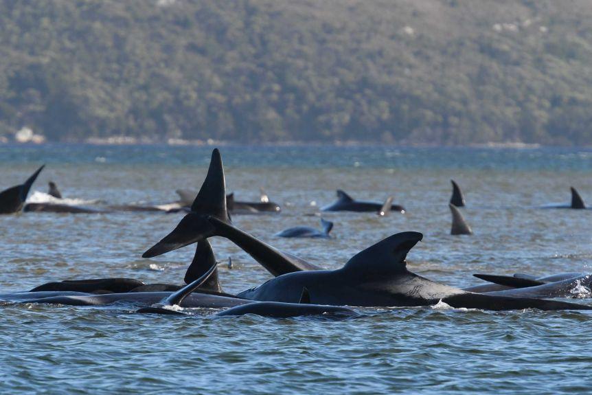 Mass Stranding Tragedy Over 370 Pilot Whales Dead