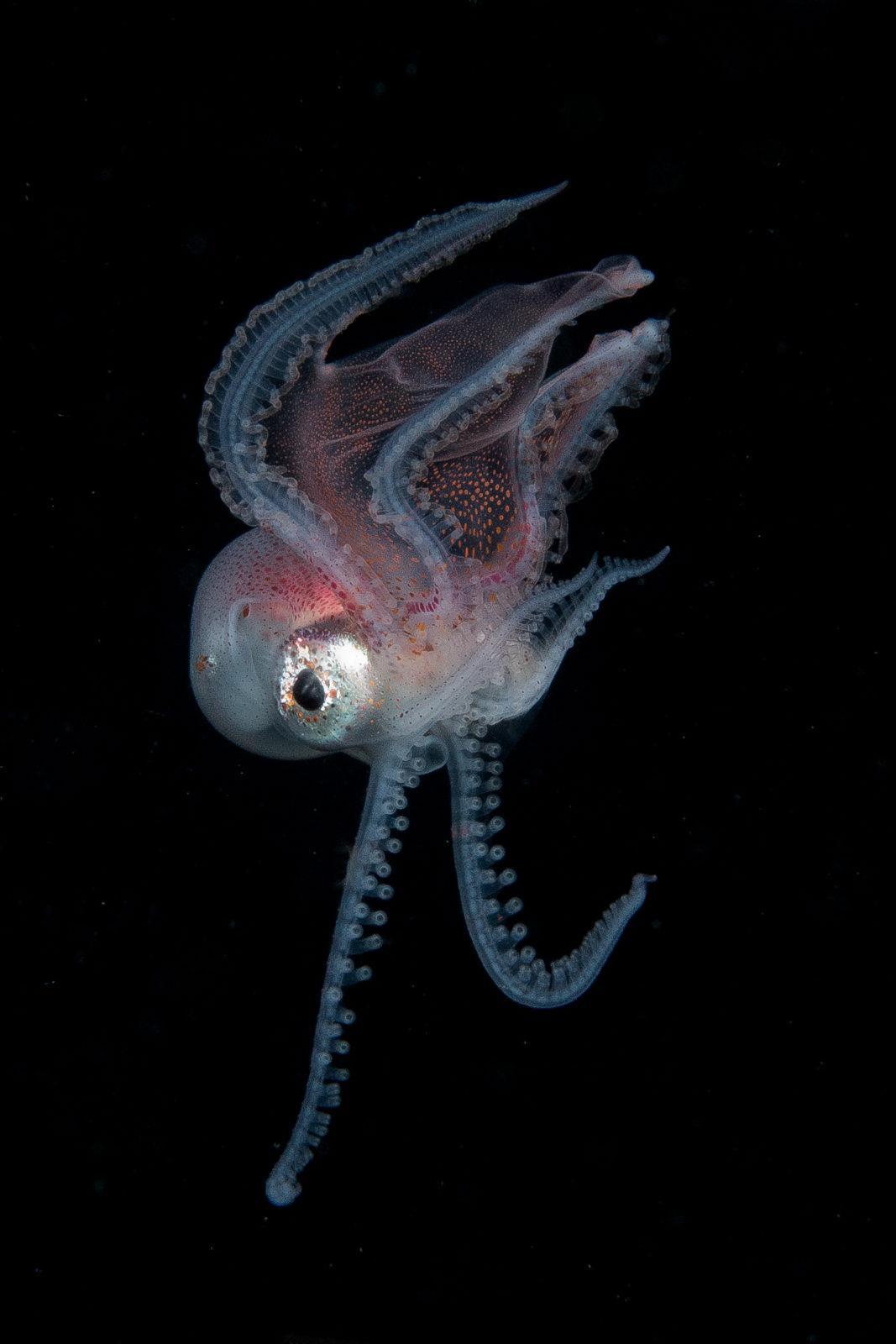 Blanket Octopus: The Black Water World