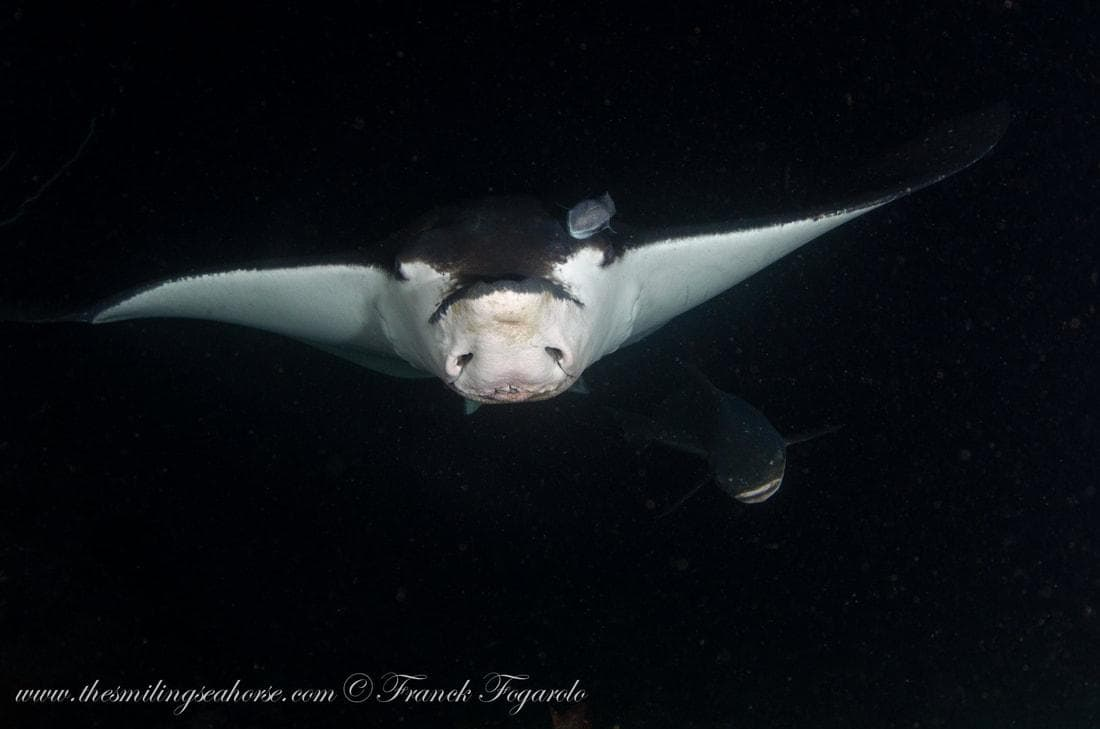 Cow nose eagle ray (Rhinoptera bonasus)