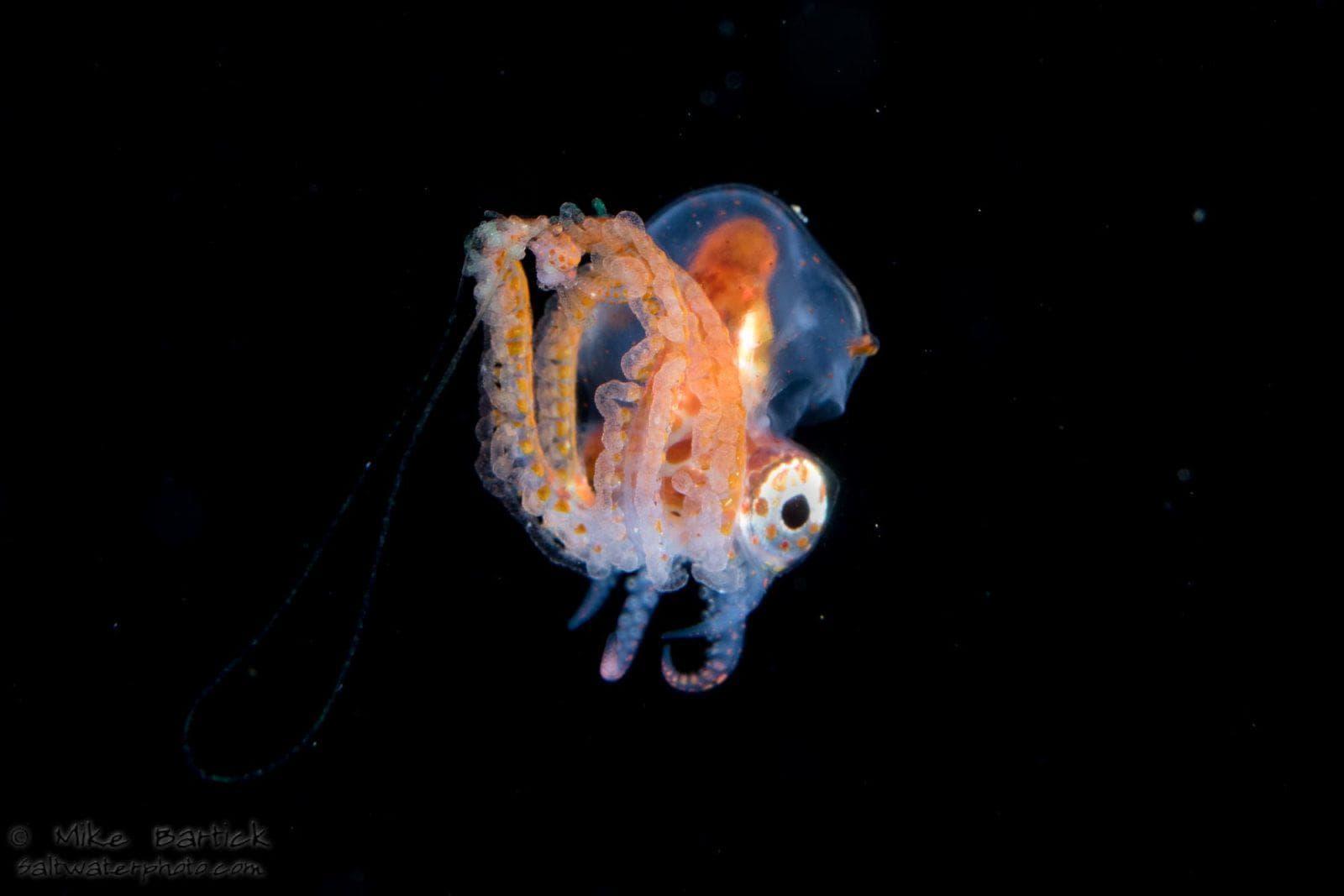 Male blanket octopus