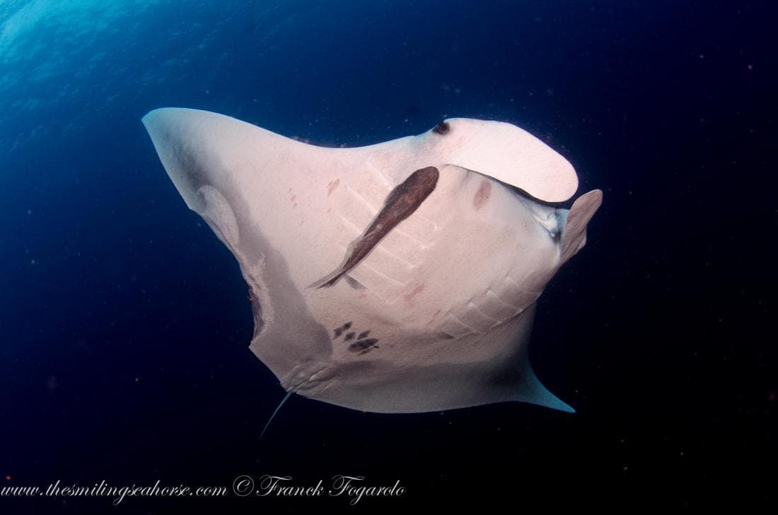 Oceanic Manta rays also known as Manta birostris