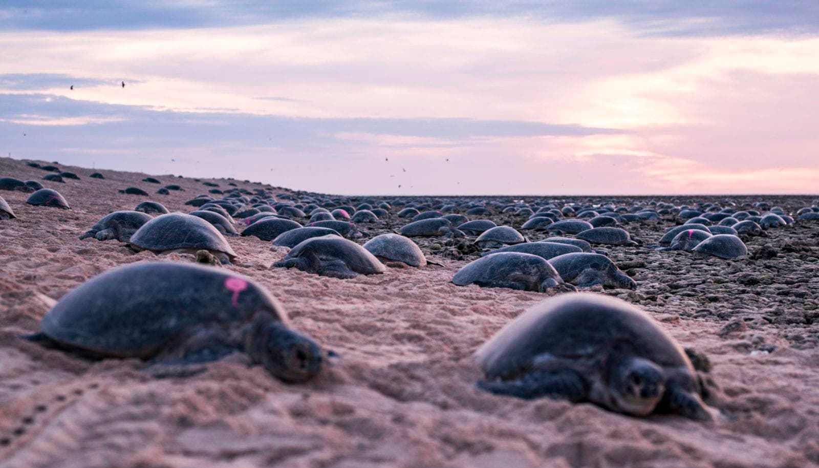 Turtles at Raine Island. Image courtesy Great Barrier Reef Foundation. Photographer Christian Miller