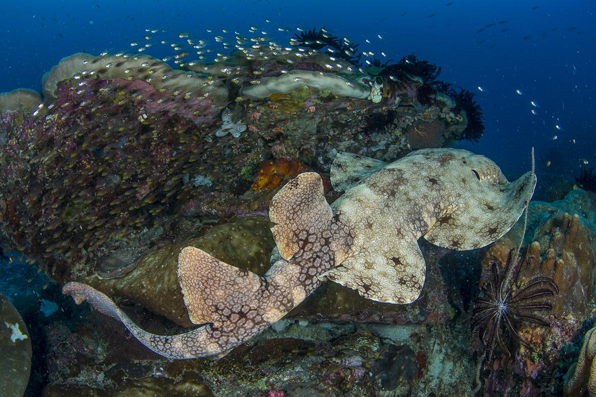 Angelfish, ghost pipefish, mushroom coral pipefish, and wobbegong sharks are often found here