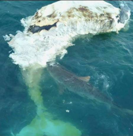 Whale Carcass Attracts Large Sharks