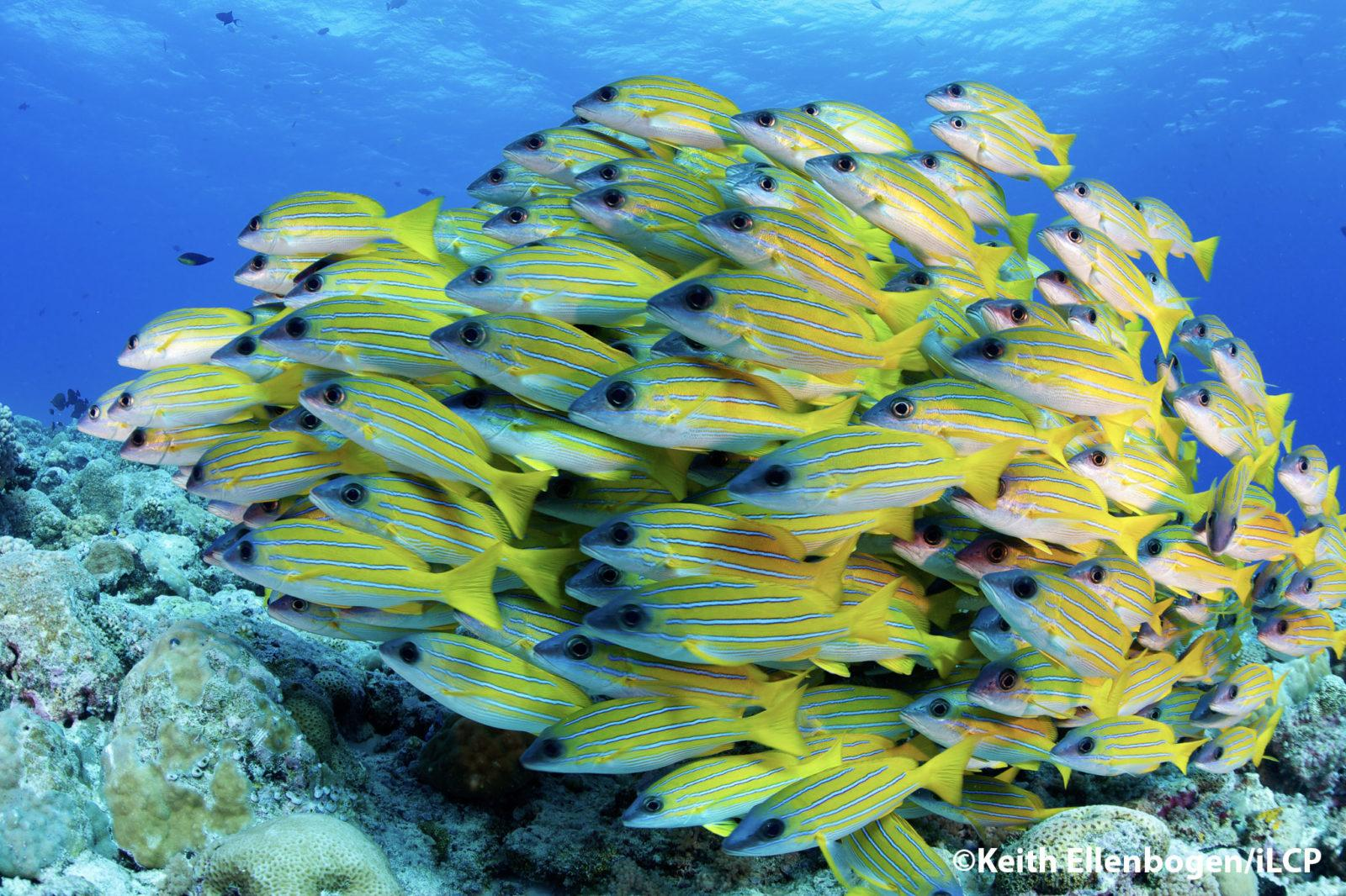 A school of Bluestripe Snapper swim close together and form a moving ball-like shape.