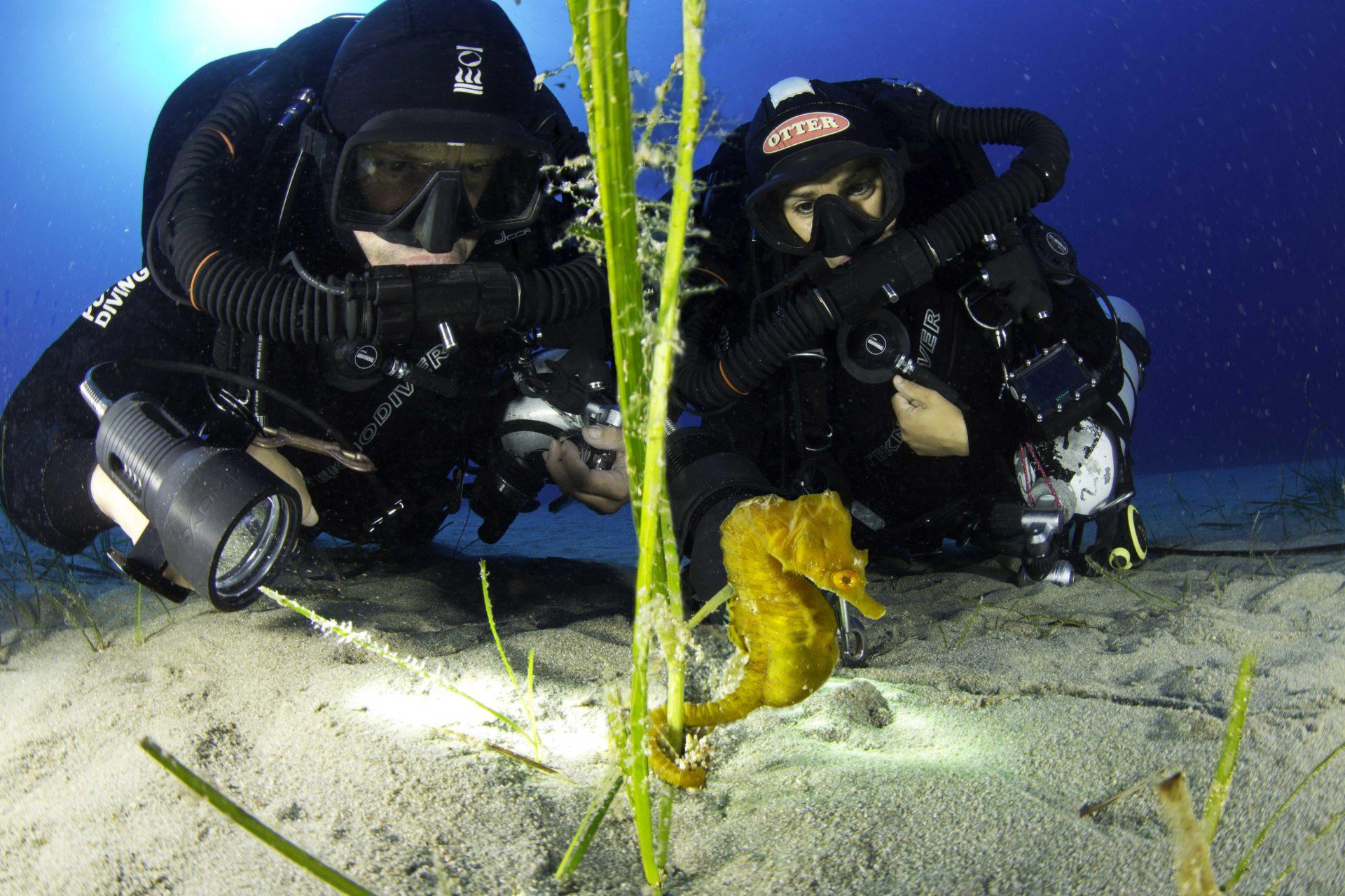 Beautiful Yellow Seahorses can be found in the Adriatic Sea off Croatia