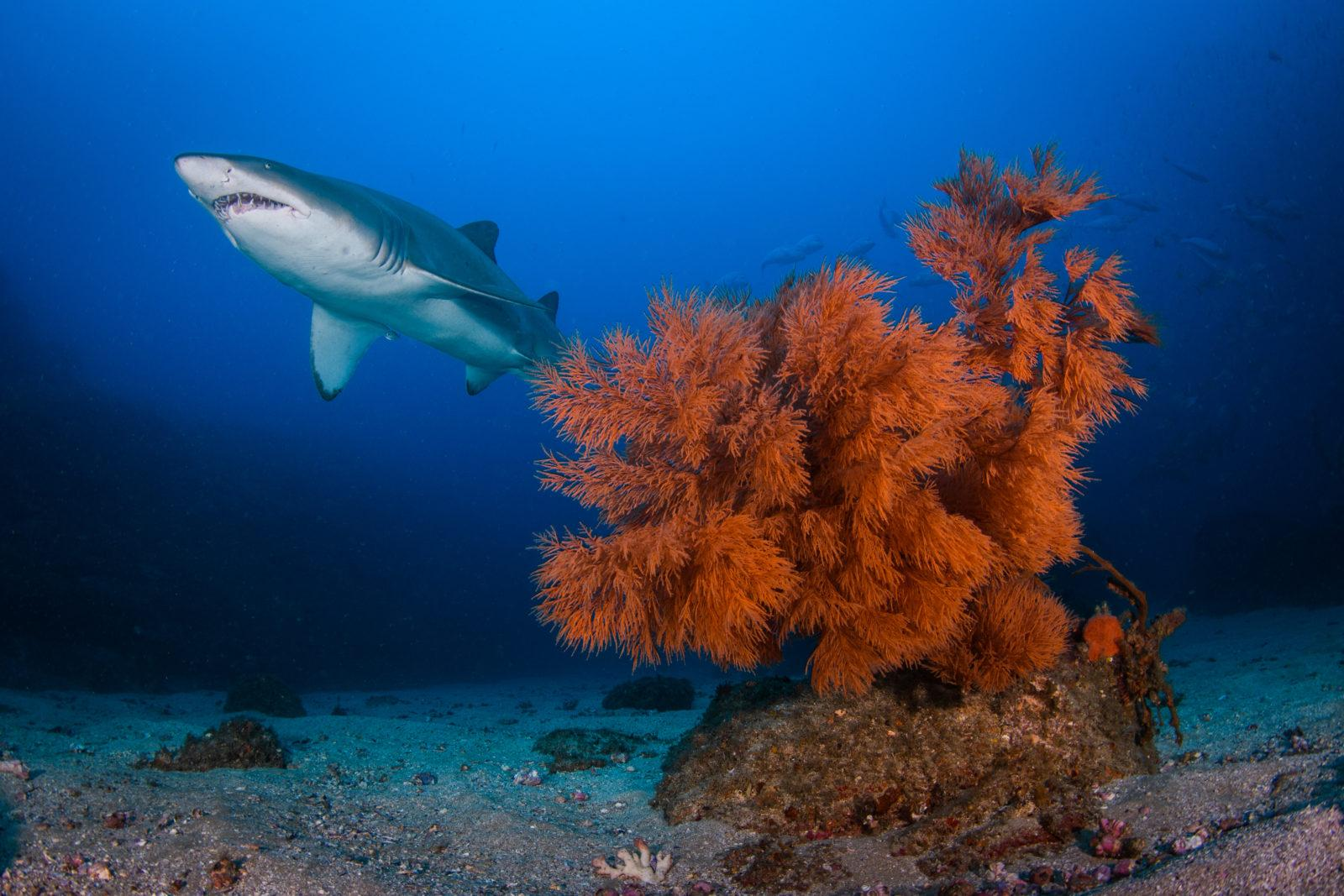 """Enough """"oomph"""" to reach the background and illuminate the incoming shark. Captured by Retra Flash Pro"""