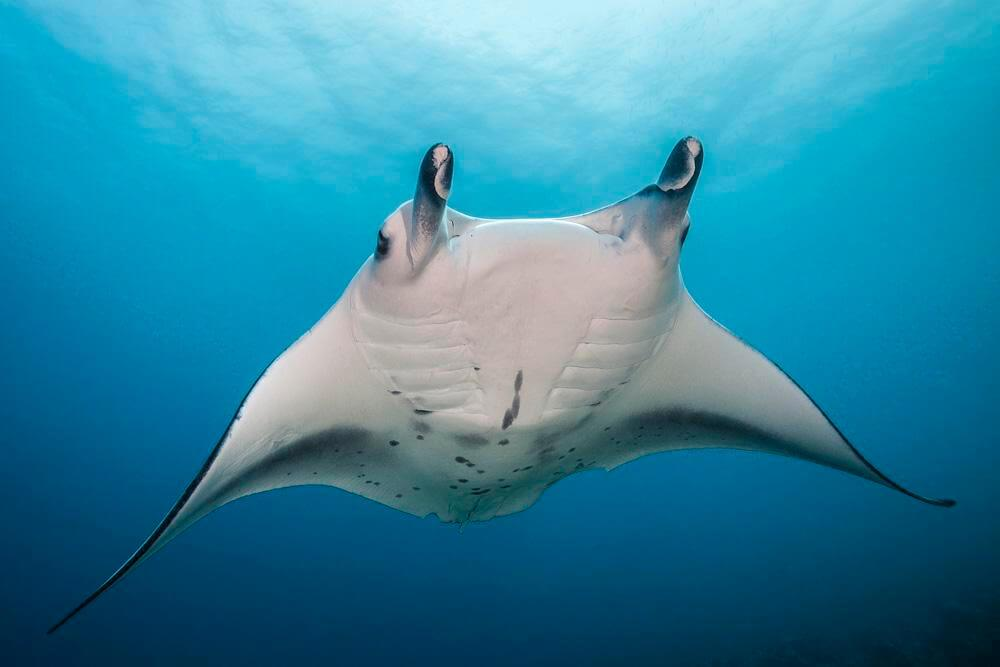Manta Ray with a white colour around the neck on the top of it's back, with a wingspan of at least 3m from tip to tip