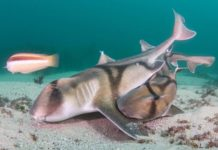 Rare Images of Port Jackson Sharks Mating