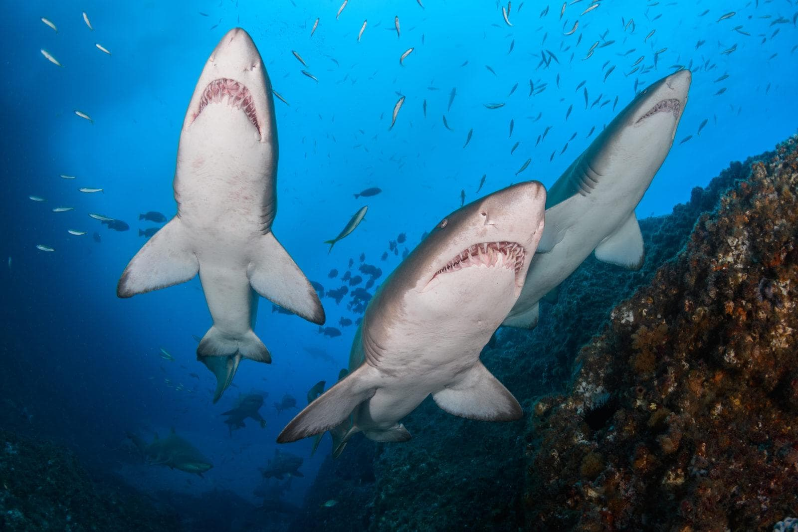 The warm and even light helps nicely lighting big scenes, sharks captured by Retra Flash Pro