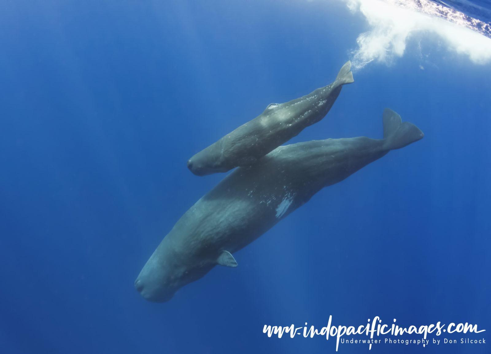 Azores, Sperm Whale Calf.jpg