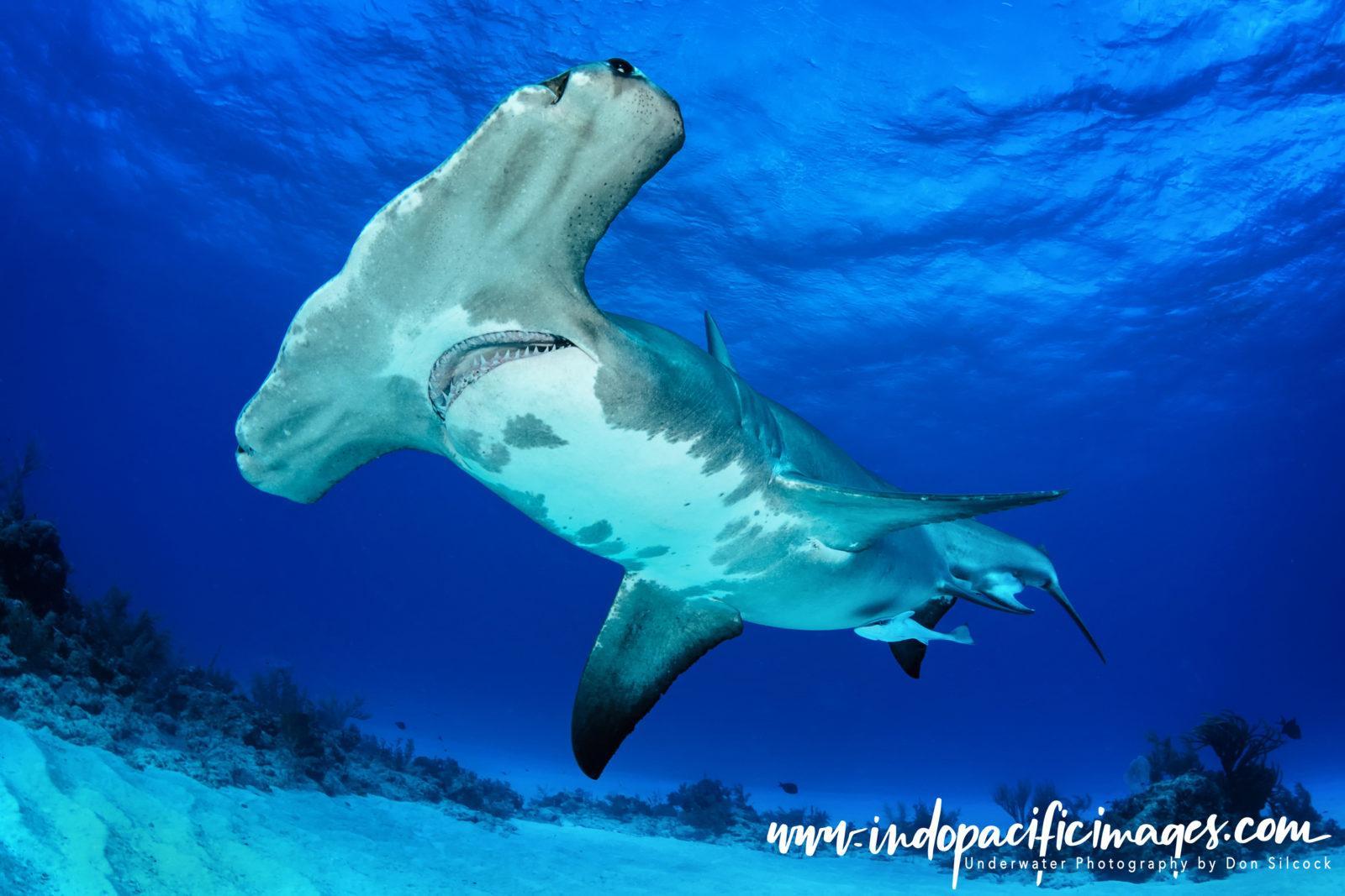 Bahamas, Great Hammerhead