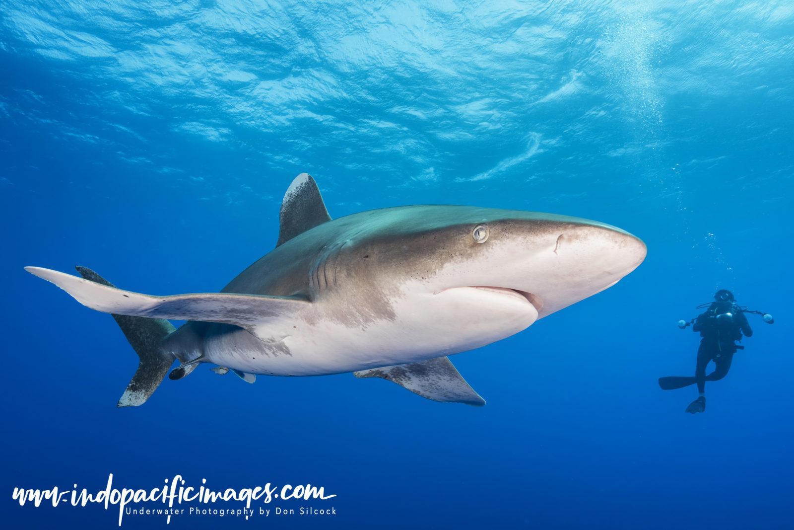 Bahamas, Oceanic White Tip
