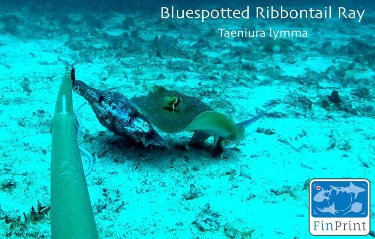 Bluespotted ribbontail ray, one of the rays commonly sighted in Sabah, attracted to the pouch of bait in front of the BRUVS camera. (Photo credit: GFP)