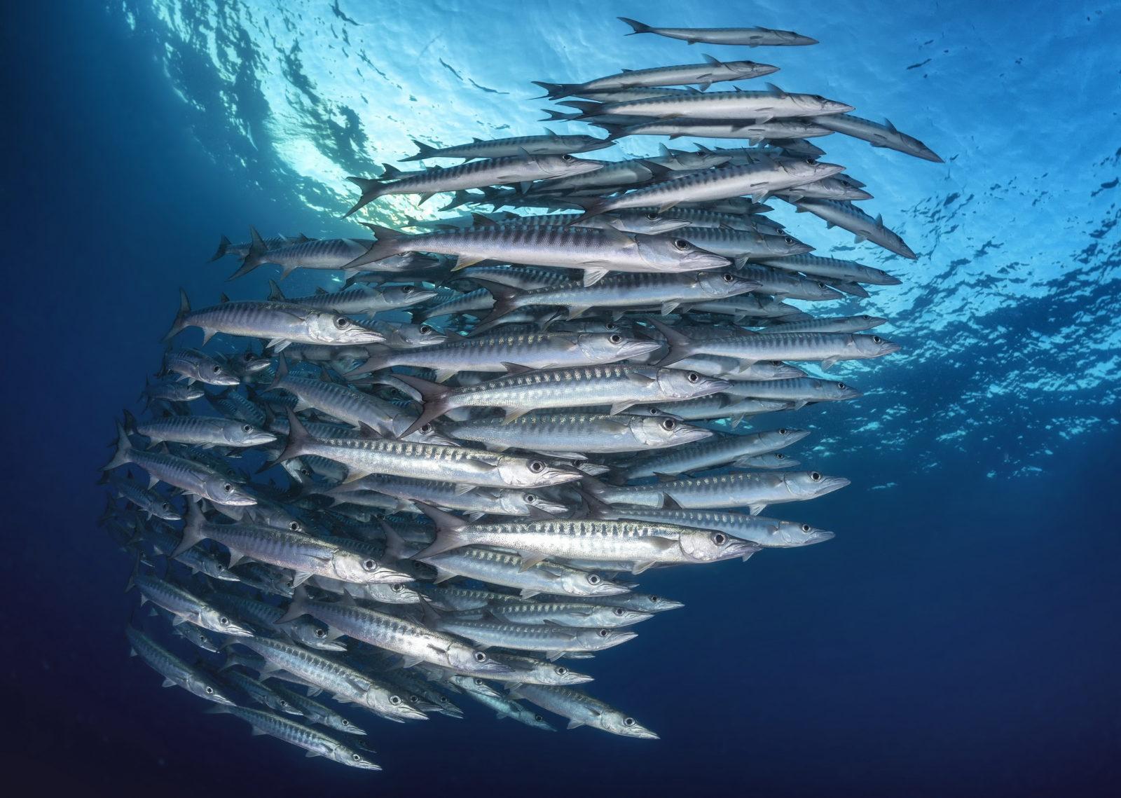 Fathers Reefs. Schooling barracuda