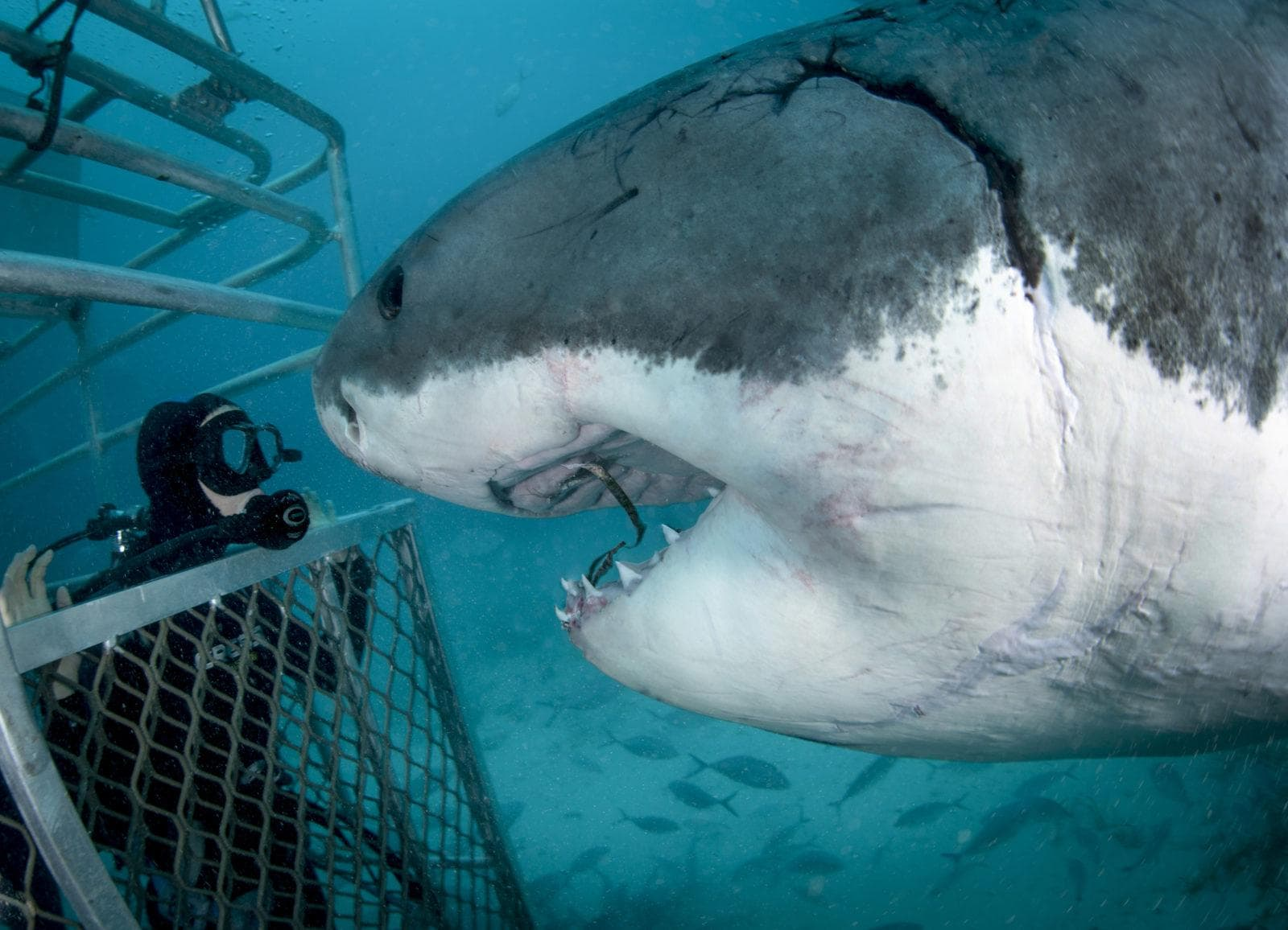 Great White Shark with a man inside a shark cage