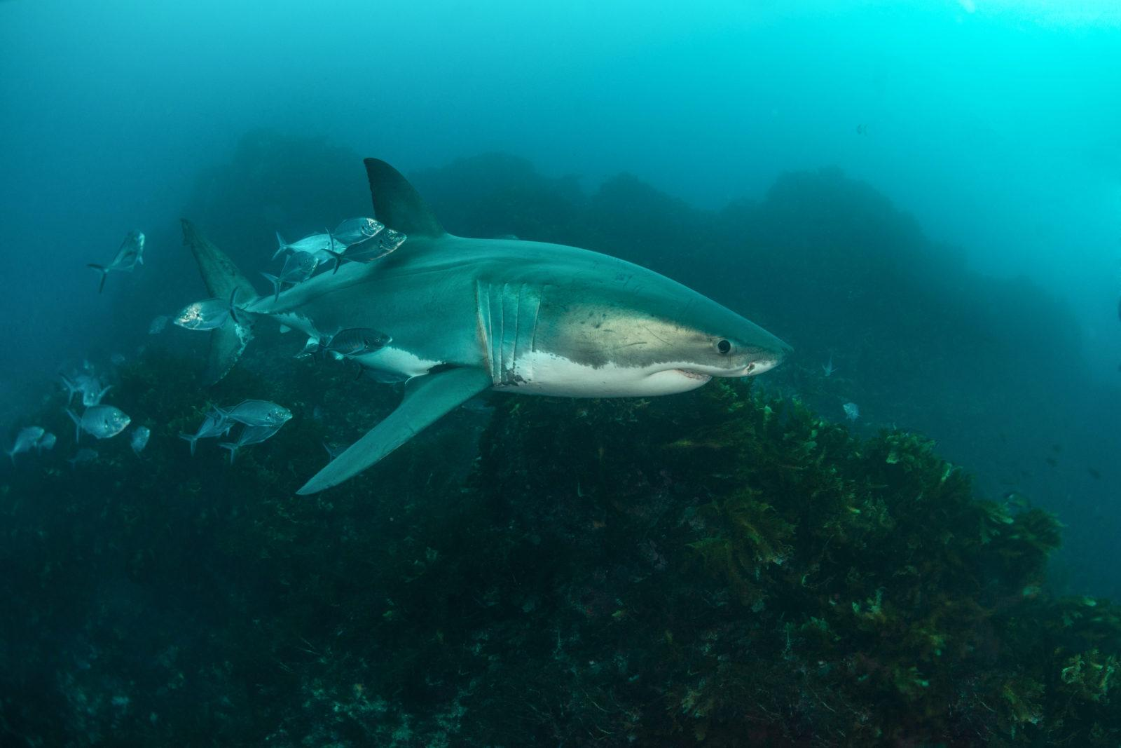 Great White Shark with a shoal of fish