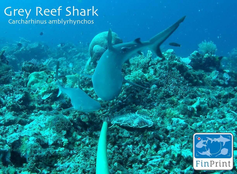 Sabah's Shark Researchers Build on Global Study for Conservation