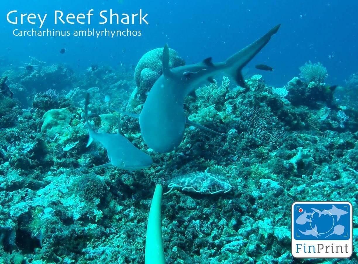 Grey reef shark, one of the shark species sighted in Sabah, attracted to the pouch of bait in front of the BRUVS camera. (Photo credit: GFP)