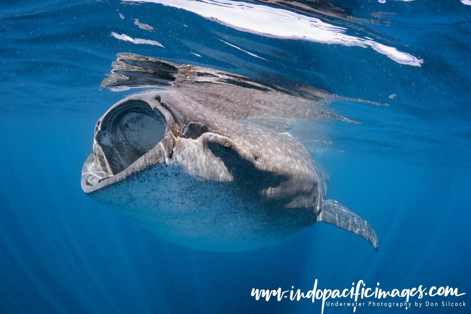 Mexico, Whale Shark Feeding