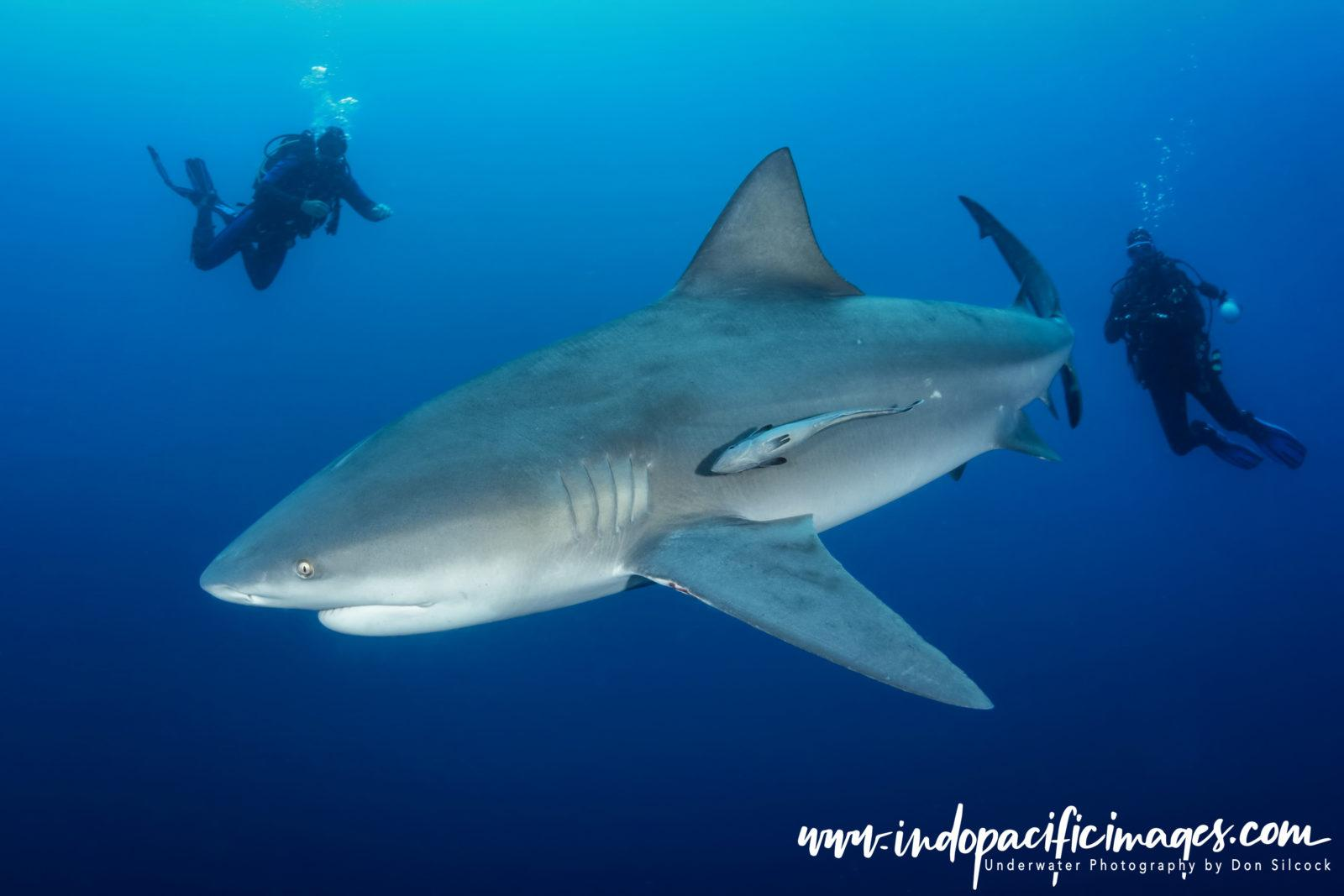 South Africa, Bull Shark and divers