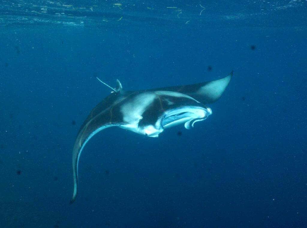 The Maldives IS famous for is manta rays